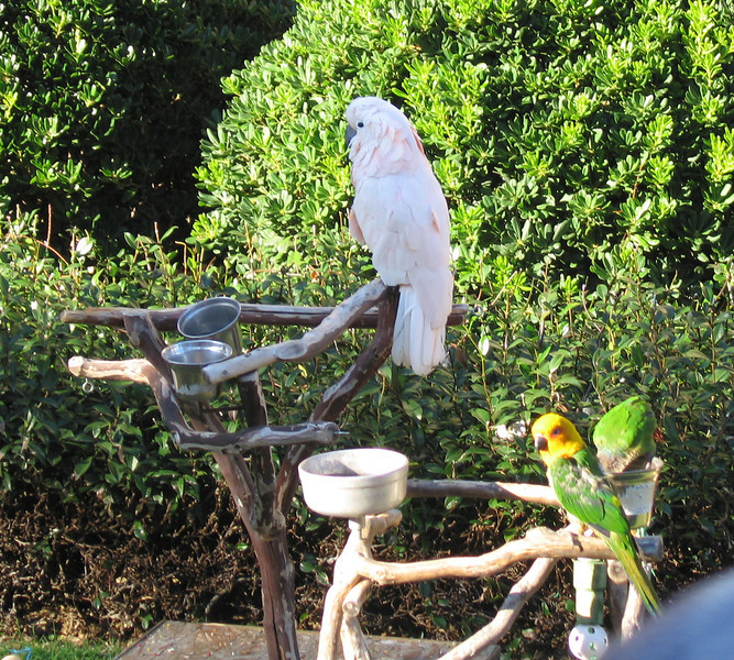 Cockatoo and parrots, Balboa Park, San Diego, 25 Nov 2011