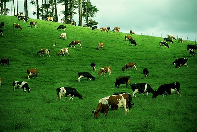 Kiwi cows chewing cud
