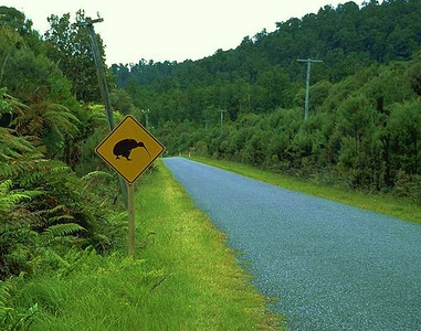 """On my second day in New Zealand I rented a car and drove north to stay with the Willis family for a few weeks.  This photo shows a typical rural road, complete with the standard """"watch for kiwi's"""" sign.  The flightless kiwi birds are nocturnal and I never saw one outside of a zoo.  They are an endangered species because of cars, deforestation, and the many new rodents that eat their eggs."""