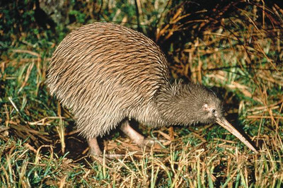 This is a typical Brown Kiwi bird.  It is about the size of a small chicken when fully grown.