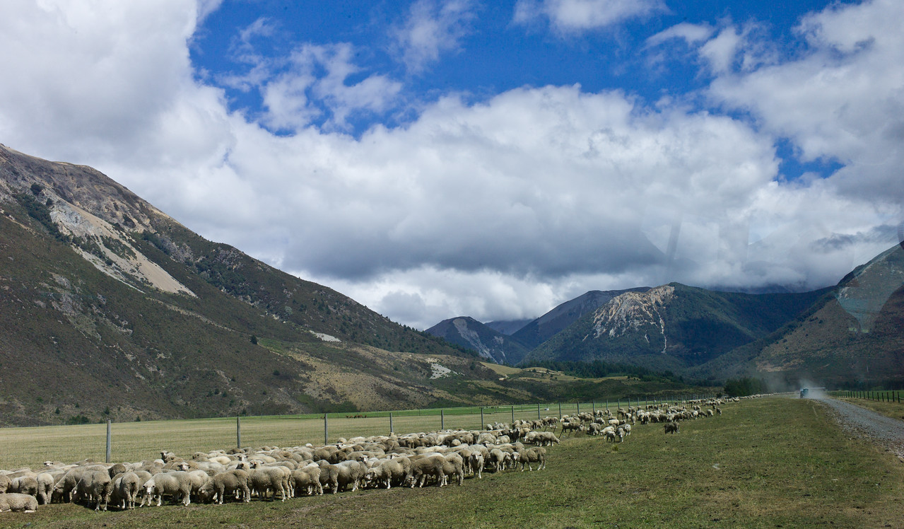 Southern Alps NZ  - with sheep.