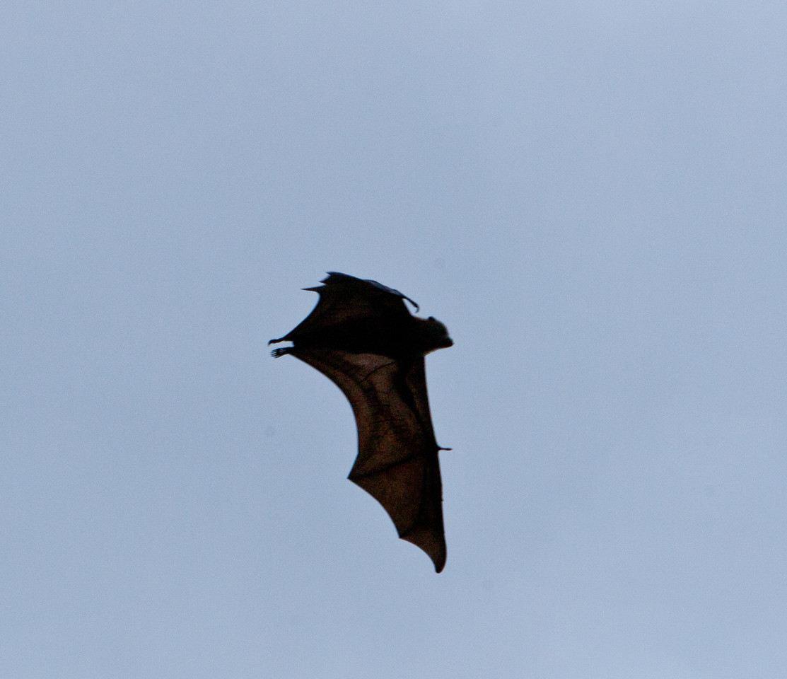Huge Syndey bats.  They're trying to get rid of them, but (most) tourists love them.