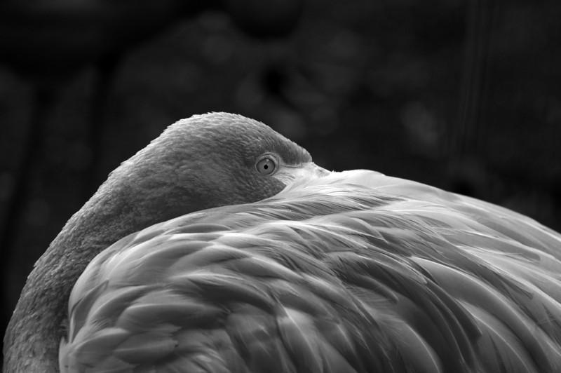 black white flamingo