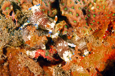 Nudibranch group mating