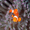 Clownfish purple anemone