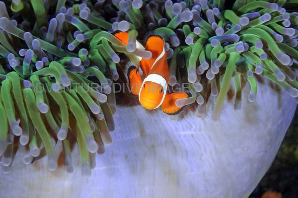 Clownfish Purple Anemone2