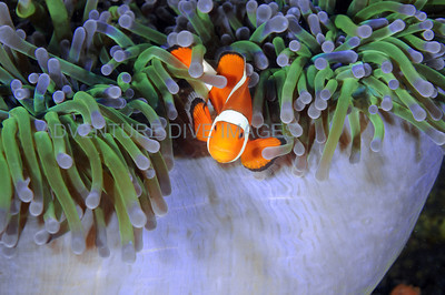 Clownfish Purple Anemone2