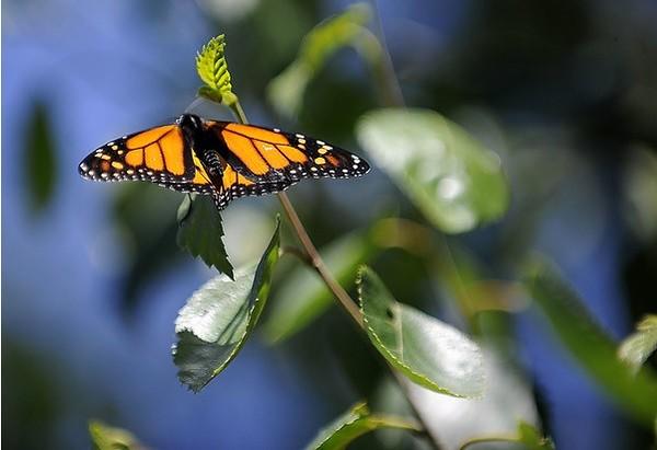 1Butterflies-PL-082317