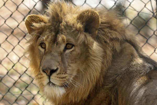 lion-int-022618