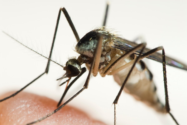 mosquito_so_West Nile