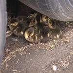 newington-firefighters-pluck-proves-lucky-for-ducklings