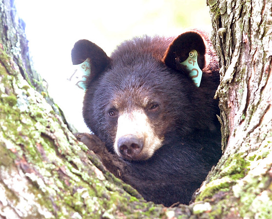 Johnny Burnham | Staff A black bear was removed from a tree on the property of 10 Lancaster Road on Monday.
