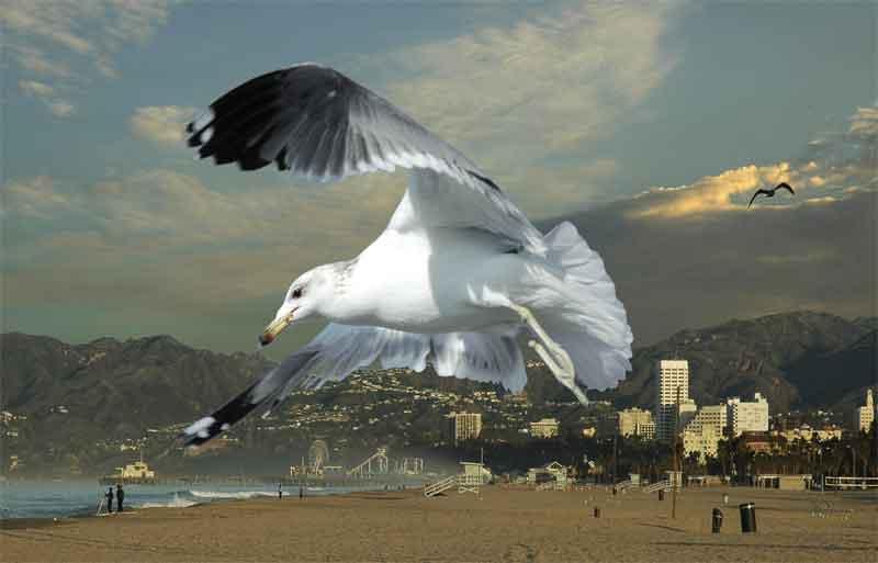 Gull # 57 - Santa Monica Mountains - a very clear day