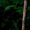 Ferns and Palms, Daintree Rainforest