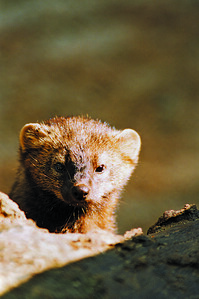 An elusive fisher, a carnivorous mammal native to Connecticut and the main subject of Central Connecticut State University graduate student Katerina Gillis' research.   Courtesy of Paul Fusco | Connecticut Department of Energy and Environmental Protection Wildlife Division.