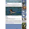 "<span style=""color:#CDC9C9""><strong>Diciembre 2013 · December 2013<br> La web Rare Birds in Spain ha publicado la observación de Mergus merganser en el Parc de l'Agulla de Manresa: http://www.rarebirdspain.net/arbsr000.htm</strong></span><br><span style=""color:#EED5B7"">The webpage Rare Birds in Spain has published the sight of Mergus merganser in Parc de l'Agulla, Manresa: http://www.rarebirdspain.net/arbsr000.htm</span>"