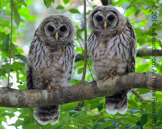Neighborhood Owl Family