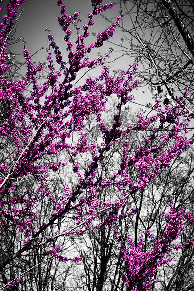 74/365 - March 19, 2012 - Blooming Redbud <br /> <br /> Prior to leaving the office tonight, I captured a shot of one of the many blooming redbuds that surrounds the parking lot.  I applied some selective color toning in Photoshop to isolate the redbud.