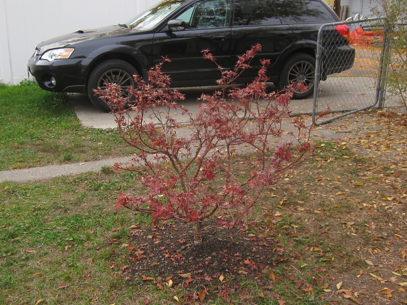The Japanese Maple that Nick planted in this back yard in honor of his 21st birthday.