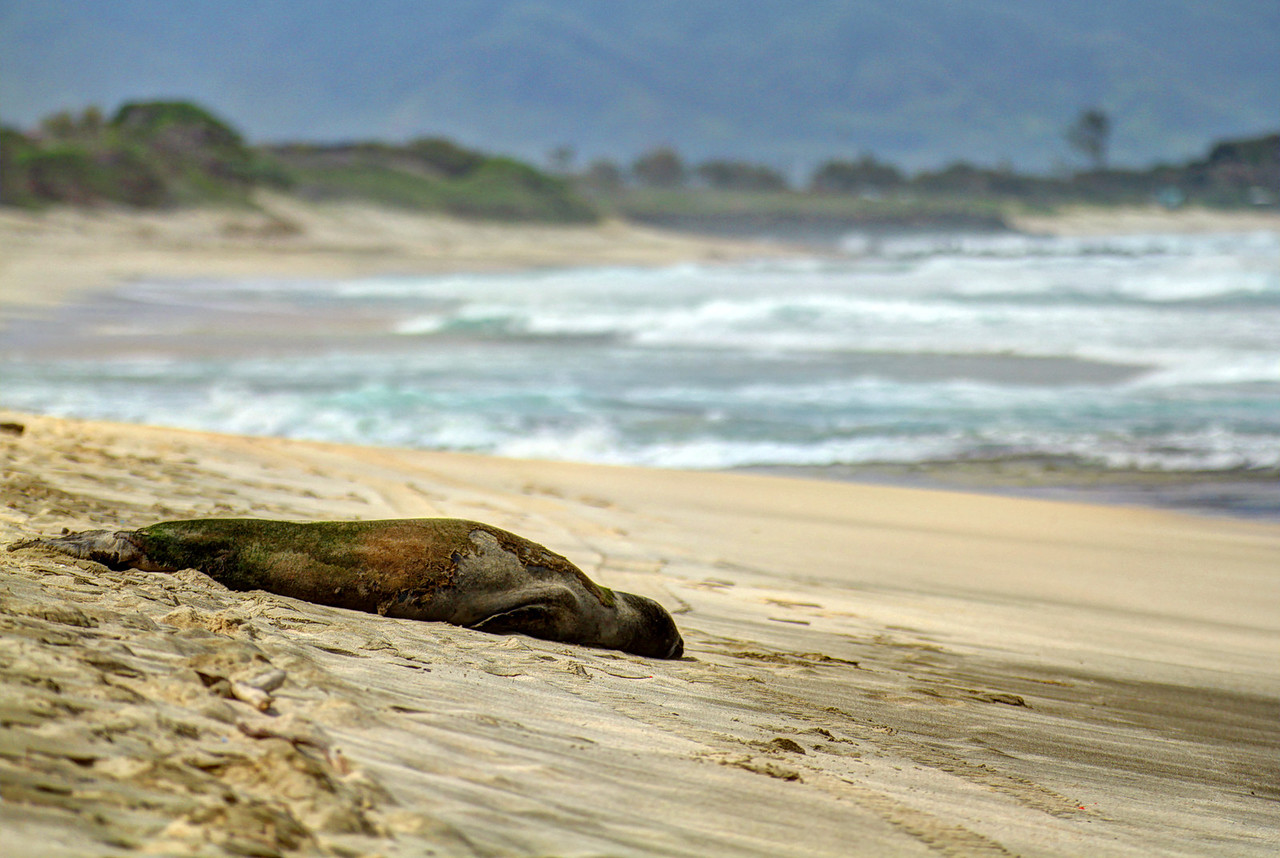 Endangered Hawaiian Monk Seal resting on the beach.