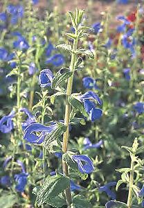 Ultamarine-seed-plants