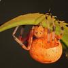 Orange Marbled Orb Weaver Spider (Araneus marmoreus)<br /> 10-30mm lens plus a 4 diopter close up lens.