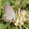 Eastern Tailed-Blue on white Clover