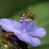 Bee on Spiderwort