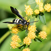 Double Banded Scoliid Wasp on Goldenrood