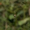 Spined Micrathena Spider on web