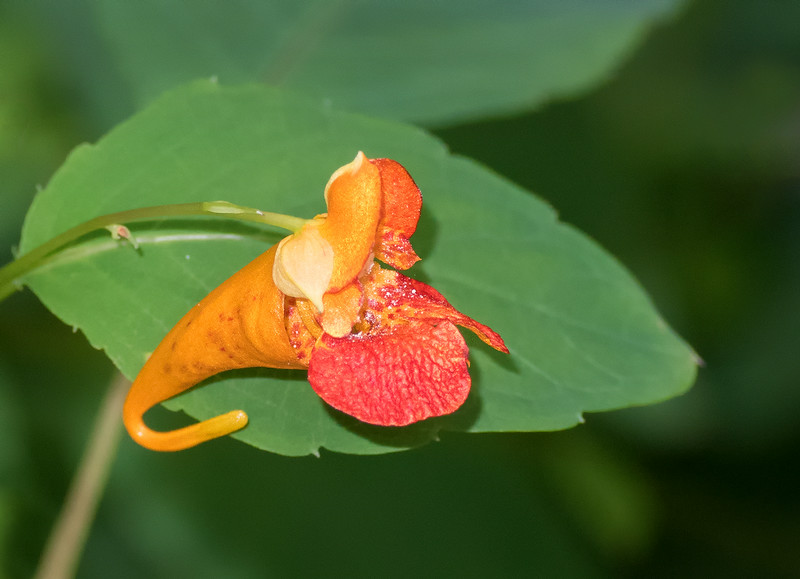 Jewelweed with the 70-300mm lens + the Nikon 5T close up filter