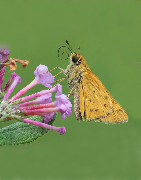 Fiery Skipper with the 70-300mm lens + the Nikon 5T close up filter