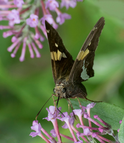 Silver-spotted Skipper with the 70-300mm lens + the Nikon 5T close up filter