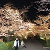 Sakura trees lit up as part of a cherry blossom festival in Fukuoka, Japan in March 2015