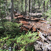 Nature doing its work devouring the downed ponderosa.
