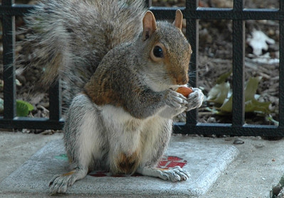 squirrel eating almond - 2008