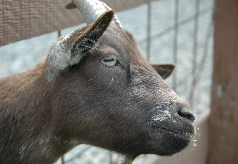 goat with trippy pupils