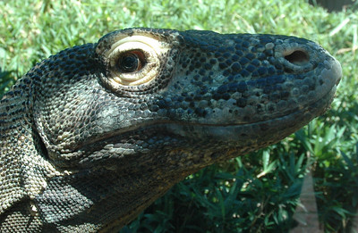 Have pity on the misunderstood--and melancholy--komodo dragon.