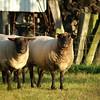 Sheep next door.