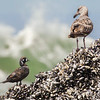 a male harlequin duck and a juvenile Western gull contemplate each others existences, Haystack Rock, Canon Beach, Oregon 2014