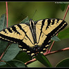 Western Tiger Swallowtail, San Elijo Lagoon, El Camino Real Trail, San Diego County, California, August 2009