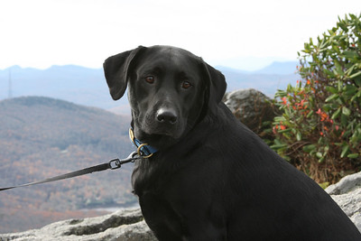 A dog on vacation on Grandfather Mountain, NC.