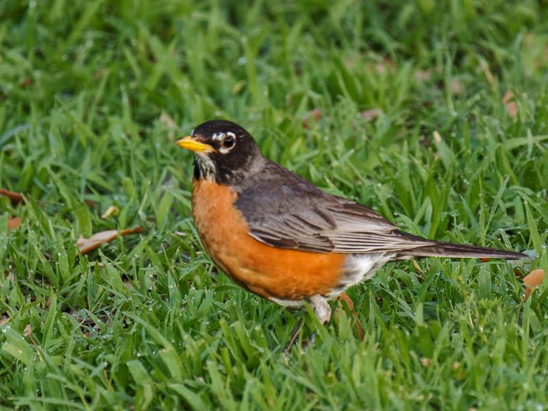 Robin at North Carolina, I-40  Rest Area