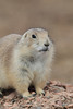 Black-tailed Prairie Dog (Cynomys ludovicianus), Theodore Roosevelt National Park, North Dakota