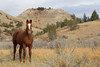 Free-Roaming Horse (Equus caballus), Theodore Roosevelt National Park, North Dakota
