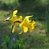 Morning daffodils.
