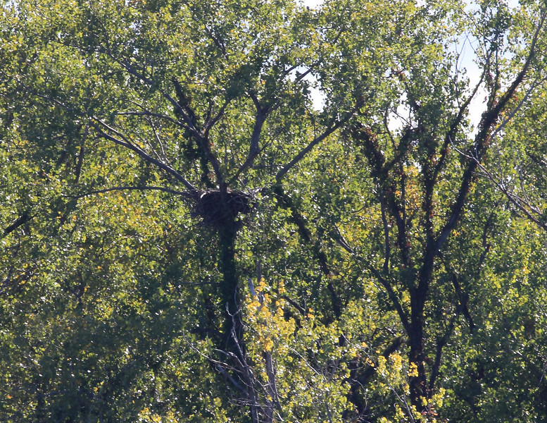 Eagle nest located north of Oxbo road in Resthaven NWR.
