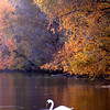 As the setting sun highlights the colorful leaves this swan takes refuge in the swallow waters of Shadyside Lake near the covered bridge over this past weekend.