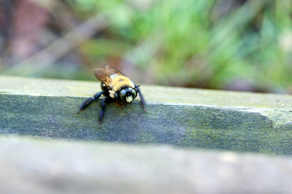 A bee resting on a handrail at Mounds State Park.<br /> <br /> Photographer's Name: Morgan Elbert<br /> Photographer's City and State: Alexandria, IN