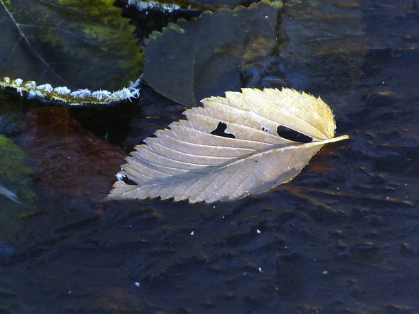 """""""Ice leaf"""" in Killbuck Creek, taken at my farm in Richland Township.<br /> <br /> Photographer's Name: J.R. Rosencrans<br /> Photographer's City and State: Alexandria, Ind."""